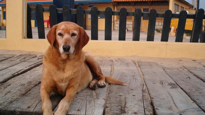 Cão idoso